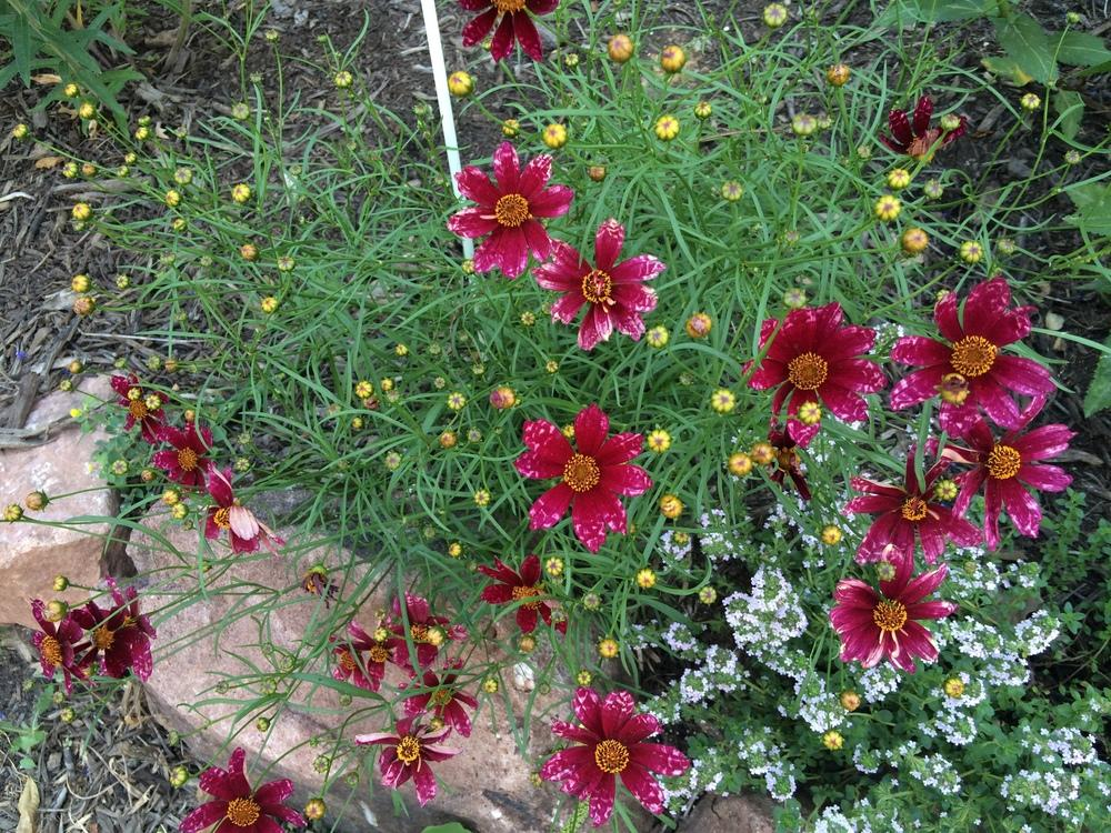 Photo of Hybrid Tickseed (Coreopsis 'Cranberry Ice') uploaded by nativeplantlover