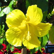 Location: Missouri Botanical Garden (Mobot) in St LouisDate: 2016-06-18yellow form