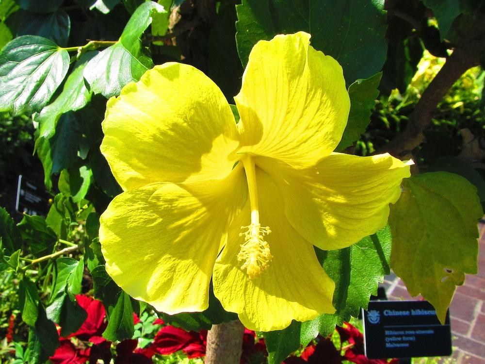 Photo of Tropical Hibiscuses (Hibiscus rosa-sinensis) uploaded by jmorth