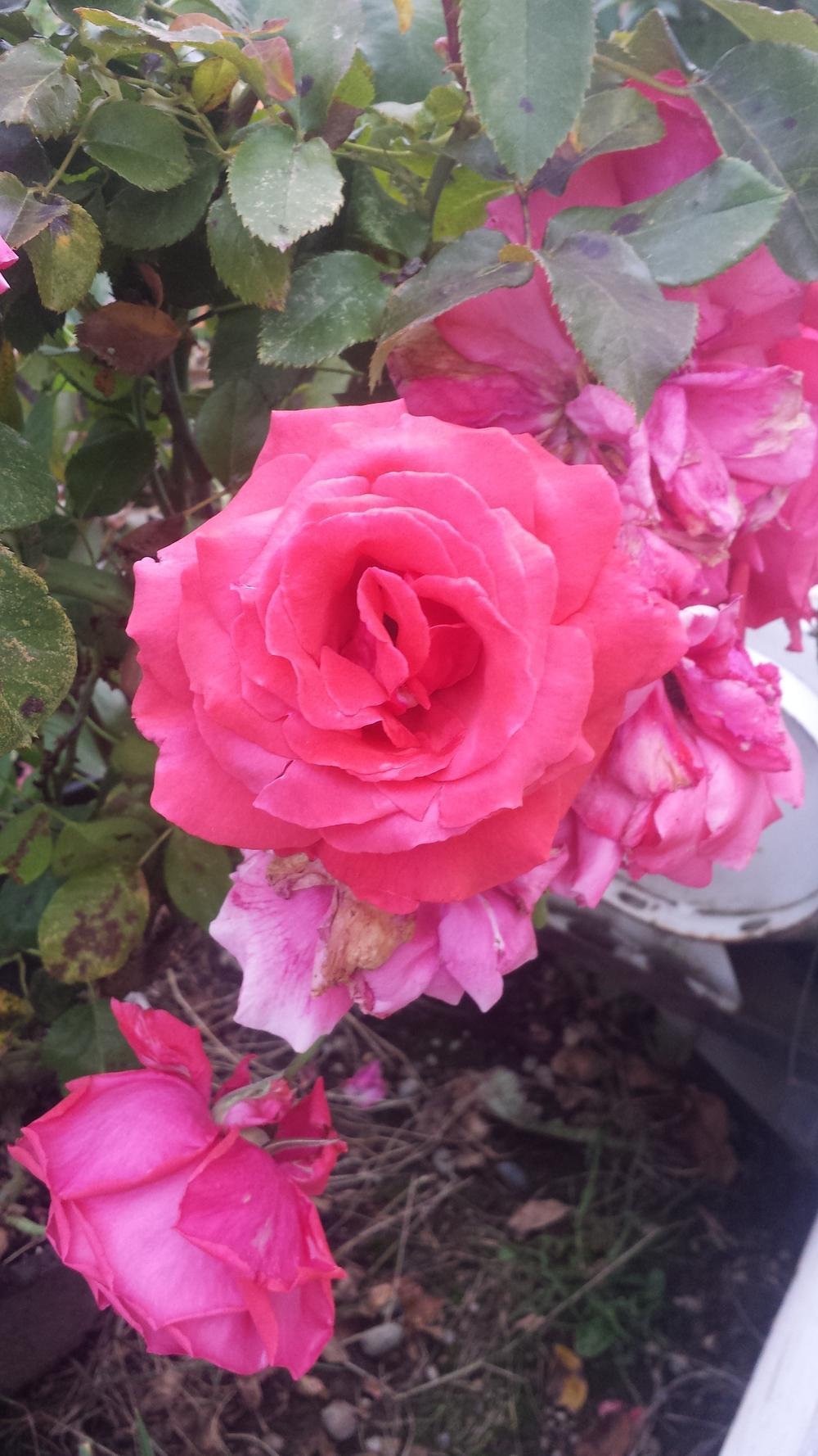Photo of Rose (Rosa 'Fragrant Cloud') uploaded by TomThumb