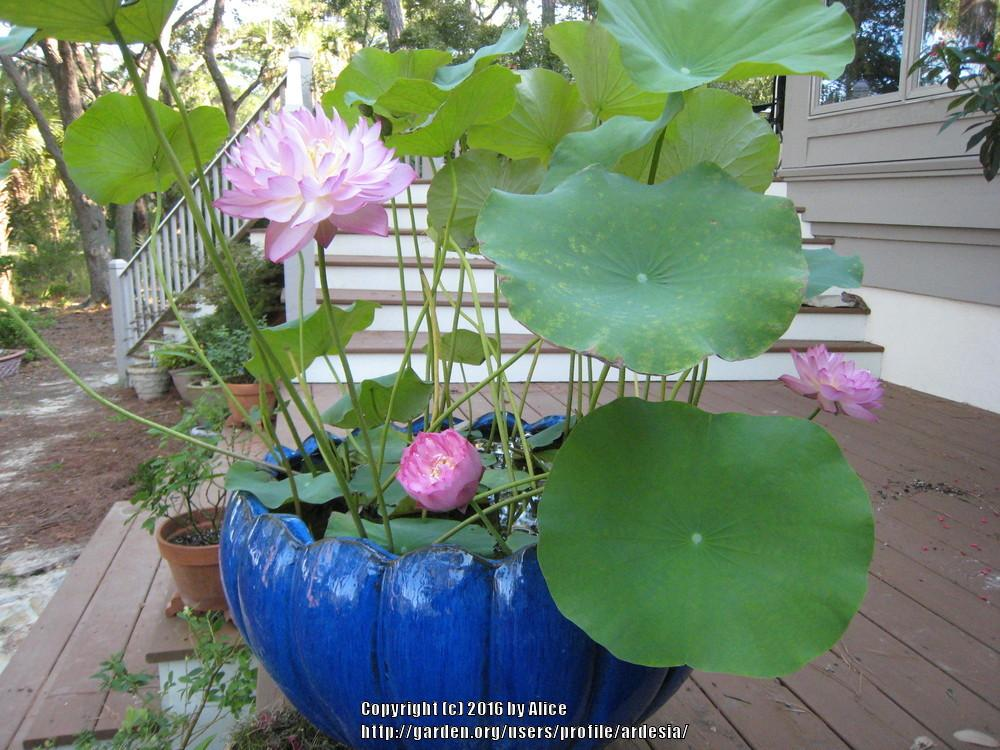 how to grow lotus in pot