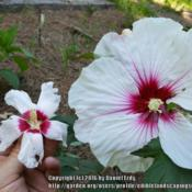 Location: Catawba SCkopper king is the large flower the small one is a rose