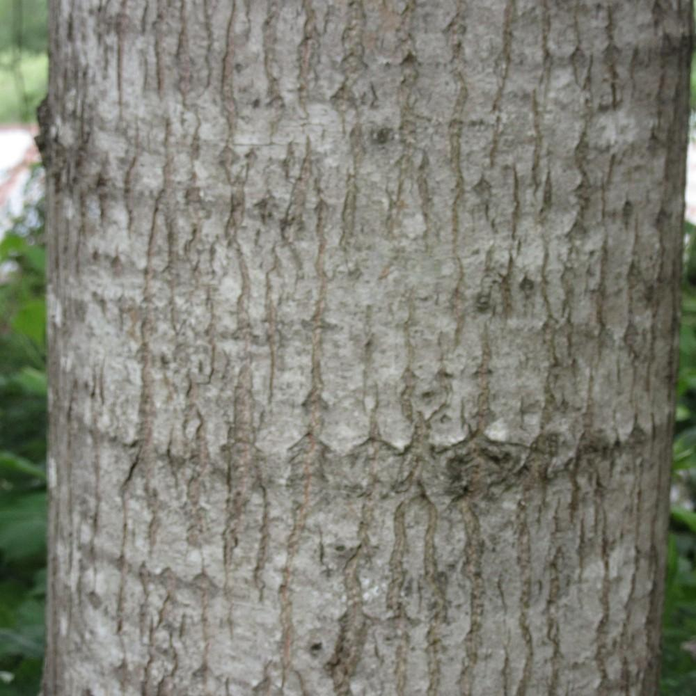 Photo of Quaking Aspen (Populus tremuloides) uploaded by Bonehead