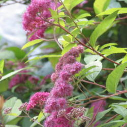 Photo of Japanese Spirea (Spiraea japonica 'Goldflame')