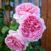 Location: Nora's Garden - Castlegar BCDate: 2014-07-157:46 pm. Three such perfect blooms together, create a tangible pe
