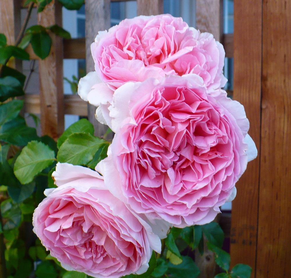 Photo of Rose (Rosa 'Abraham Darby') uploaded by HemNorth