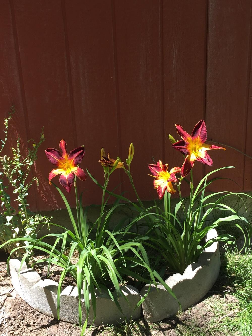 Photo of Daylily (Hemerocallis 'Ruby Spider') uploaded by SpringGreenThumb