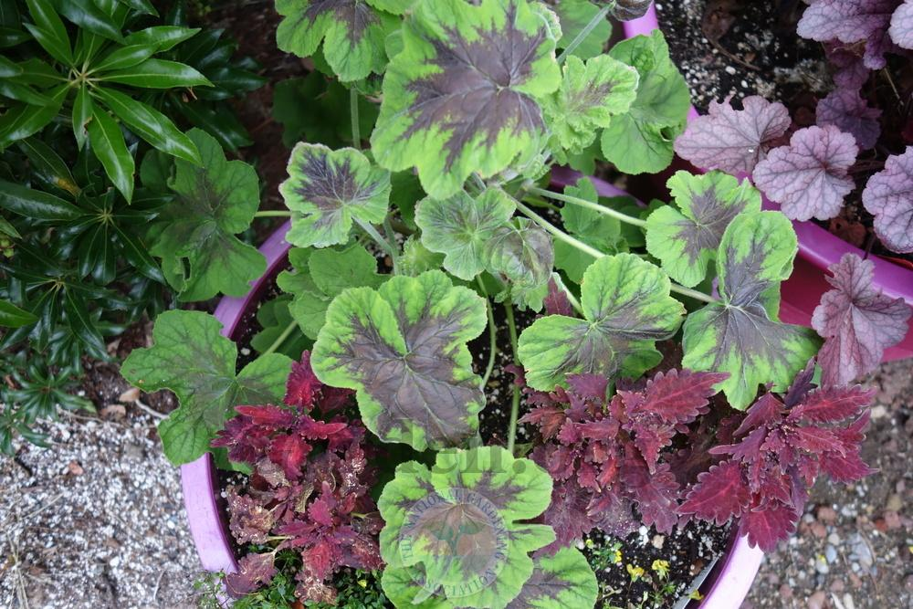 Photo of the entire plant of Peppermint-Scented Geranium ... on house plant strawberry, house plant ginger, house plant candy cane, house plant sage, house plant lime, house plant pineapple, house plant banana,