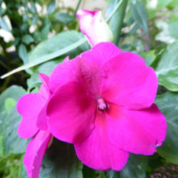 Photo of Impatiens (Impatiens Super Elfin™ Lipstick)