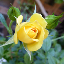 Photo of Rose (Rosa 'Rise 'n' Shine')