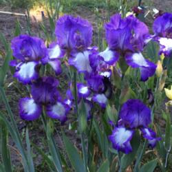 Photo of Tall Bearded Iris (Iris 'Grape Soda')