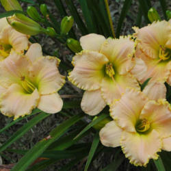 Photo of Daylily (Hemerocallis 'Kentucky Lucky')