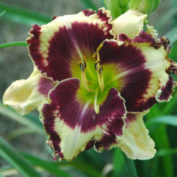 Photo of Daylily (Hemerocallis 'The Dominator')
