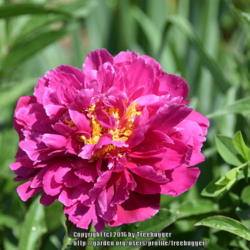 Photo of Chinese Peony (Paeonia lactiflora 'Karl Rosenfield')