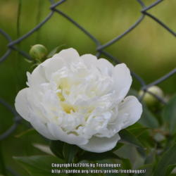 Photo of Chinese Peony (Paeonia lactiflora 'Bowl of Cream')