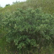 Location: Des Lacs National Wildlife Refuge, near Kenmare, North DakotaDate: 2016-06-27A lovely larger bush with narrow, rounded gray-green leaves
