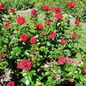 Location: Whetstone Park of Roses, Columbus OH USADate: 2016-06-25