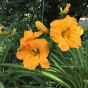 Location: My garden - Chicago areaDate: 2016-06-28