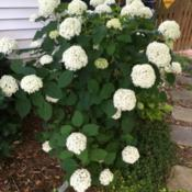 Location: My zone 5 gardenDate: 2016-06-28I love this hydrangea.  It has the most blooms and bloo