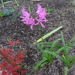 Photo of Cape Lily (Nerine 'Winter Cheer')