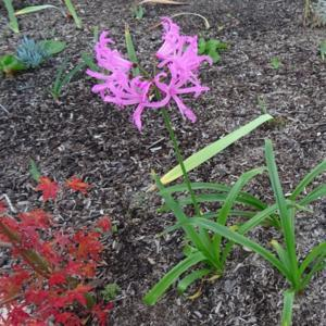 cape lily nerine winter cheer in the cape lilies database