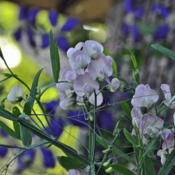 Location: Zone 5Date: 2016-06-30Sweet pea flower visible with stem and tendril.