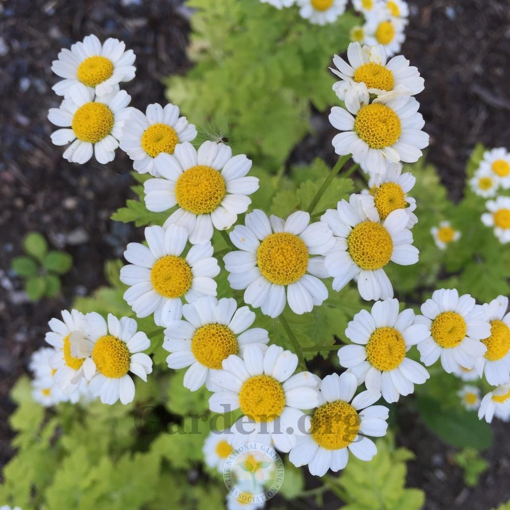 A flower that looks like a daisy. Garden flowers: names, description and photo 8