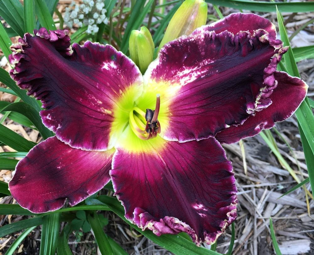Photo of Daylily (Hemerocallis 'Venus Flytrap') uploaded by ljb5966