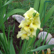Location: Oklahoma City, OK - my backyardDate: 2016-06-27Gladiolus, yellow