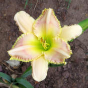 Location: Oklahoma City, OK - my backyardDate: 2016-07-01Yellow and pink unknown daylily