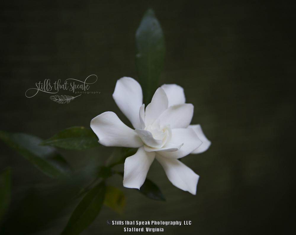 Photo of Gardenia (Gardenia jasminoides 'Frostproof') uploaded by Chantell