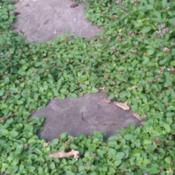 Location: Riverhead, NYDate: 2016-07-05used as ground cover on the way to birdfeeder.