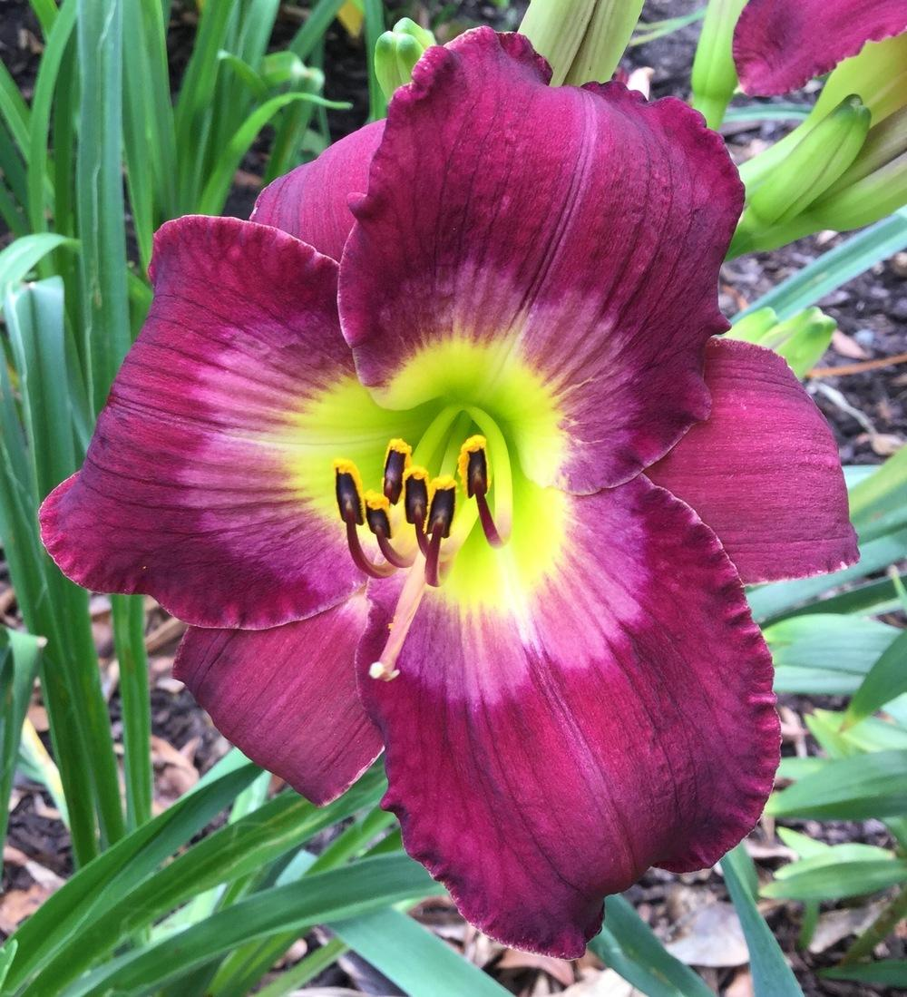 Photo of Daylily (Hemerocallis 'Nordic Night') uploaded by scflowers