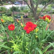 Location: My garden - Chicago areaDate: 2016-07-07