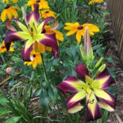 Location: my zone 5 gardenDate: 2016-07-07I bought this plant directly from Jamie Gossard and it