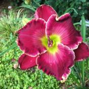 Location: my zone 5 gardenDate: 2016-07-08This is one beautiful flower.