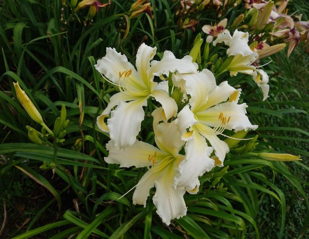 Photo of Daylily (Hemerocallis 'Heavenly Angel Ice') uploaded by mantisOH