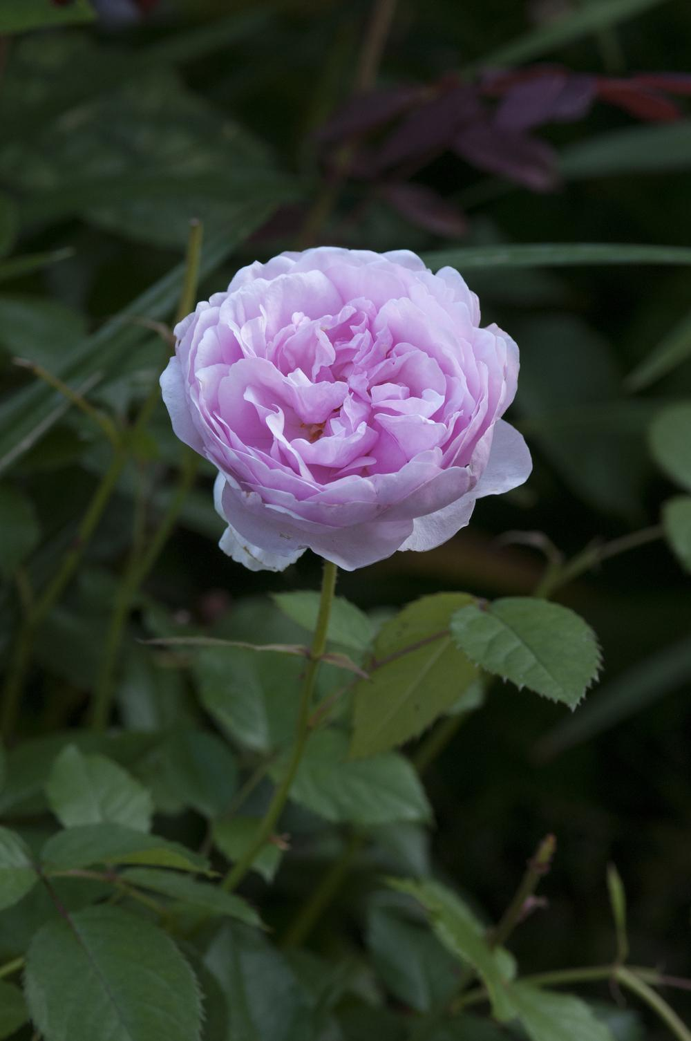 Photo of Rose (Rosa 'Olivia Rose Austin') uploaded by cliftoncat
