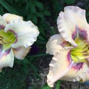 Location: my zone 5 gardenDate: 2016-07-10I am crazy about this plant - it has bloomed and bloomed and it h