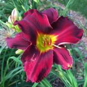 Location: my zone 5 gardenDate: 2016-07-09This looks red in the bright sun, but in the shade or n