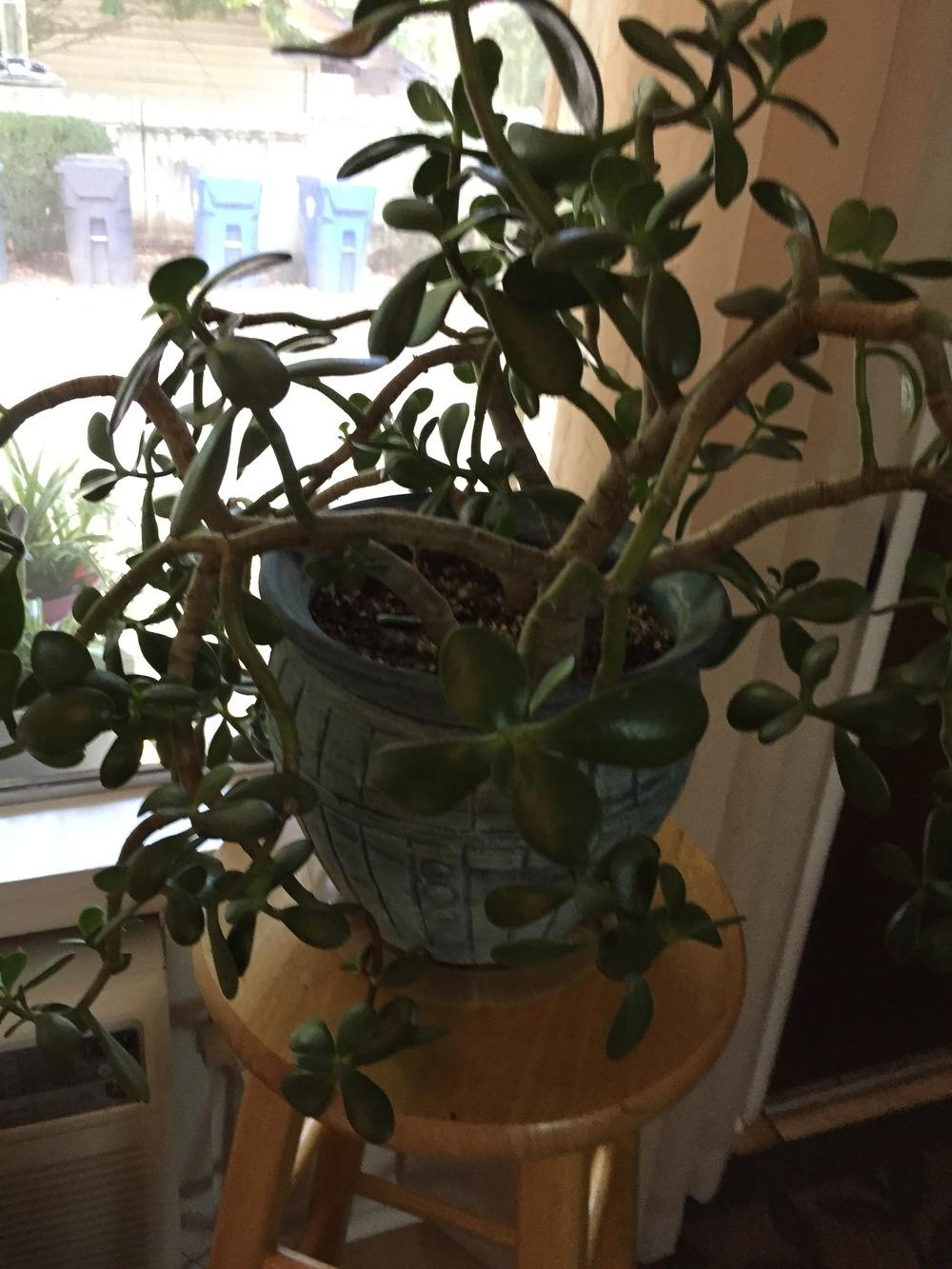 Communication on this topic: How to Prune a Jade Plant, how-to-prune-a-jade-plant/