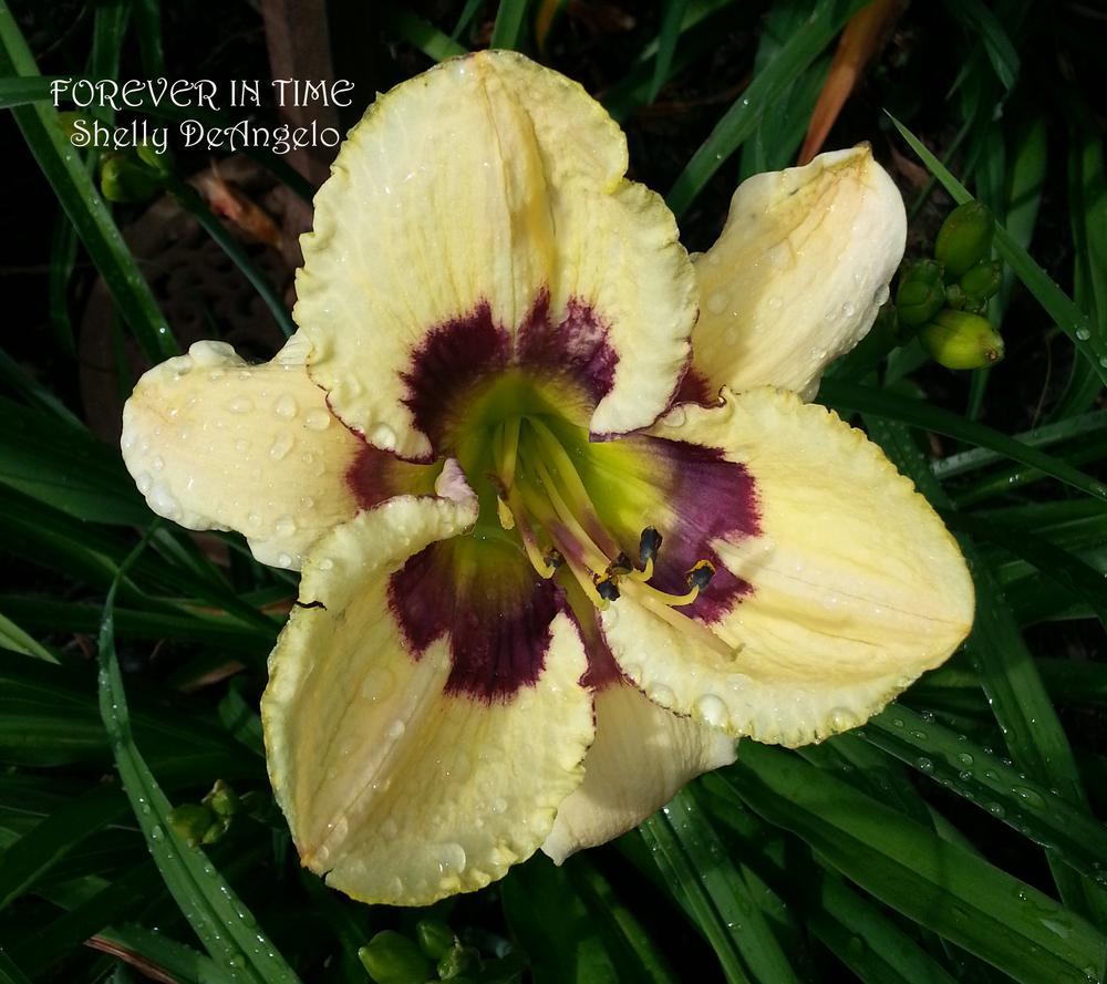 Photo of Daylily (Hemerocallis 'Forever in Time') uploaded by shellyd321