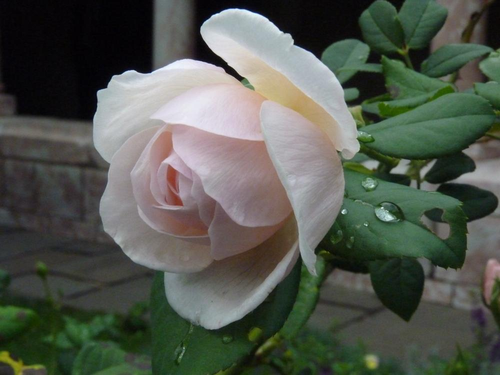 Photo of Roses (Rosa) uploaded by bwv998
