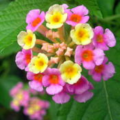 Location: Winter Springs, FL zone 9bDate: 2014-10-21Native Lantana camara Florida