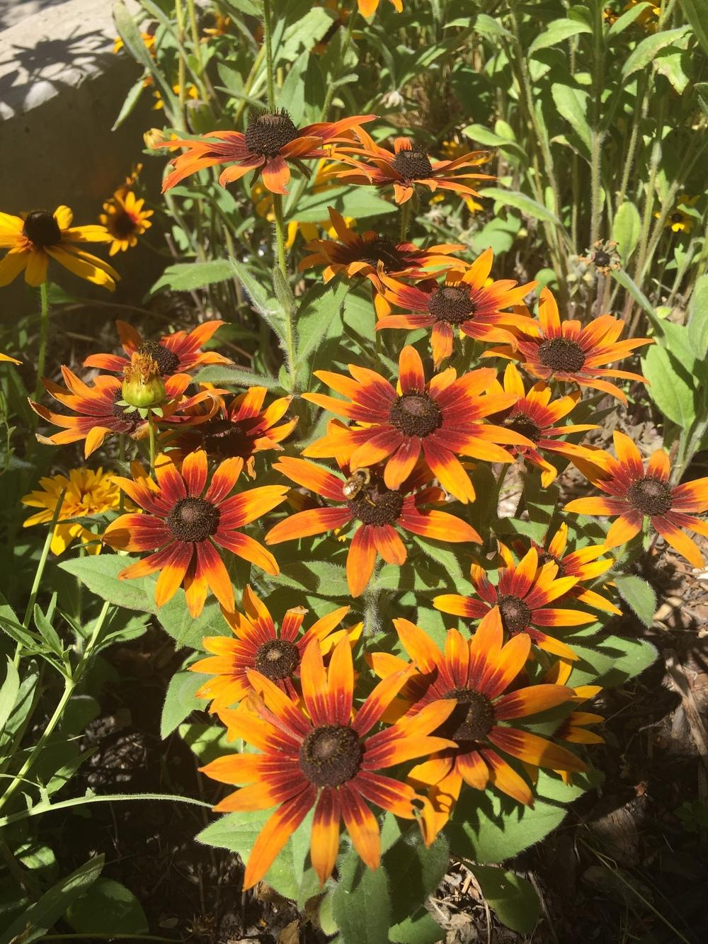 Photo of Black Eyed Susans (Rudbeckia) uploaded by SpringGreenThumb