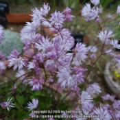 Location: RHS Harlow Carr alpine house, Yorkshire, UKDate: 2016-07-11