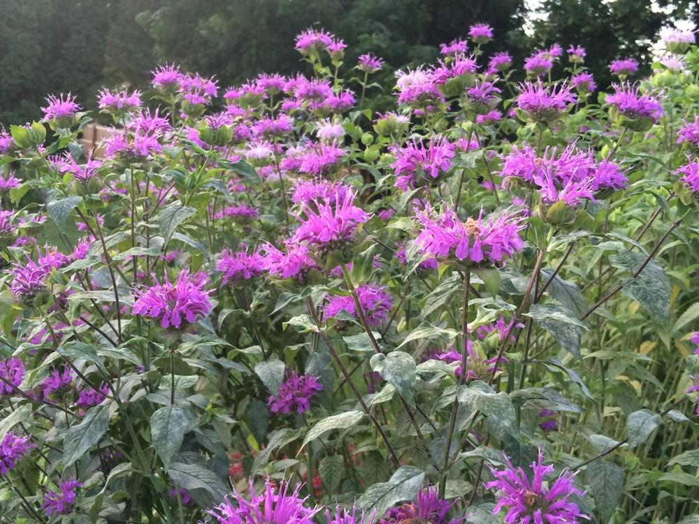Photo of Bee Balm (Monarda 'Peter's Purple') uploaded by nativeplantlover