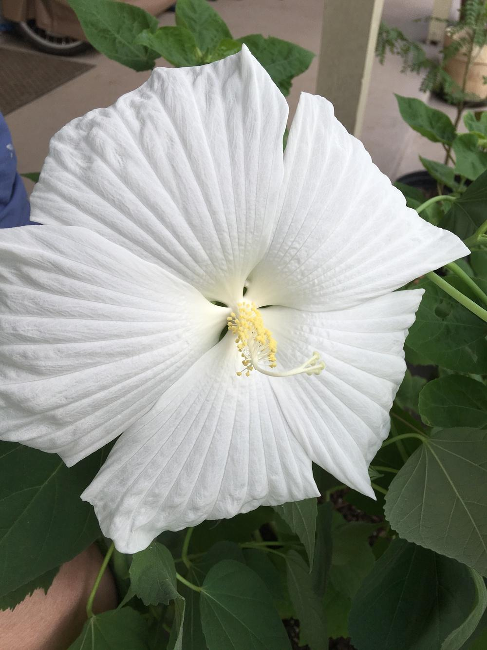 Photo Of The Bloom Of Hardy Hibiscus Hibiscus Moscheutos Blue