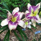 Location: My zone 5 gardenDate: 2016-07-13This one has been sending up a lot of poly blooms - thi