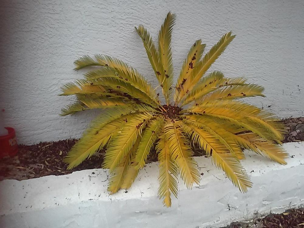Ask A Question Forum Sago Palm Dying Received Advice